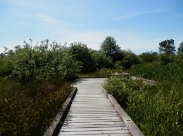 A boardwalk along a marsh.