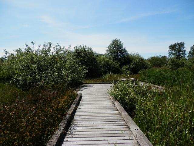 A boardwalk along a marsh.