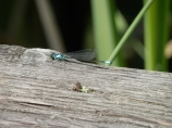 Dragonflies by the hundreds.