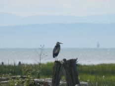 A heron.
